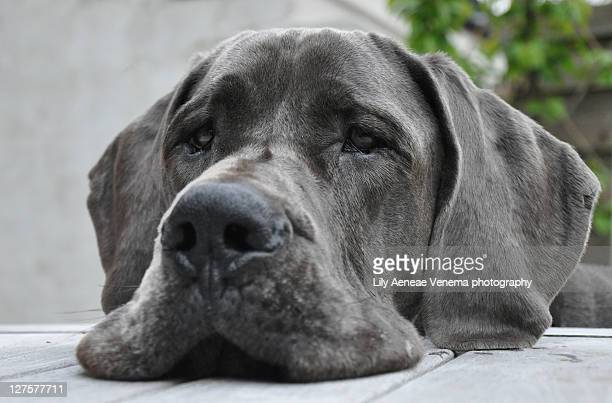 danehead on table - great dane stock pictures, royalty-free photos & images