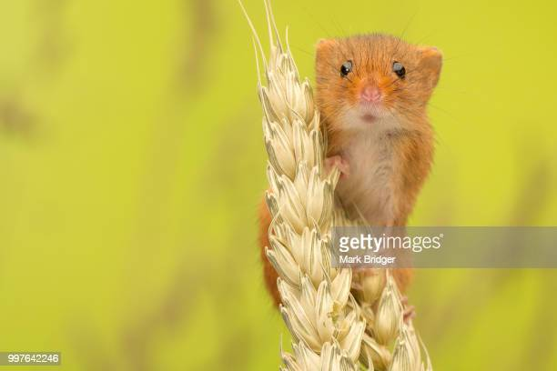 danger mouse - harvest mouse stock pictures, royalty-free photos & images