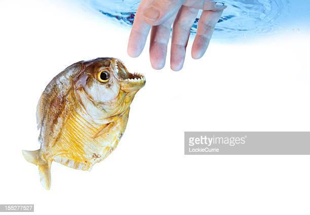 le danger - piranha photos et images de collection