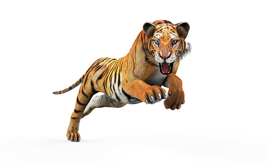 Dangerous Bengal Tiger with Clipping Path. 1032122660