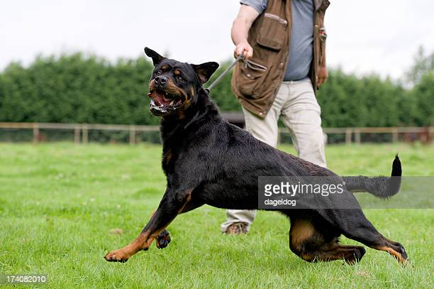 dangerous dog - aggression stock photos and pictures