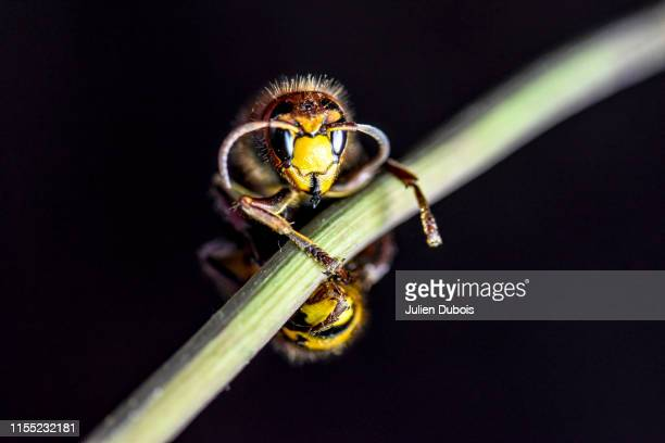 dangerous giant hornet-2 - murder hornet stock pictures, royalty-free photos & images