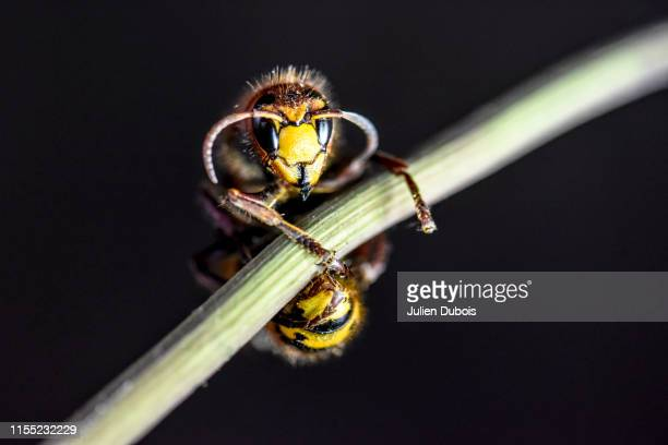 dangerous giant hornet-3 - murder hornet stock pictures, royalty-free photos & images