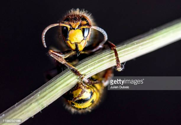 dangerous giant hornet-4 - arthropod stock pictures, royalty-free photos & images