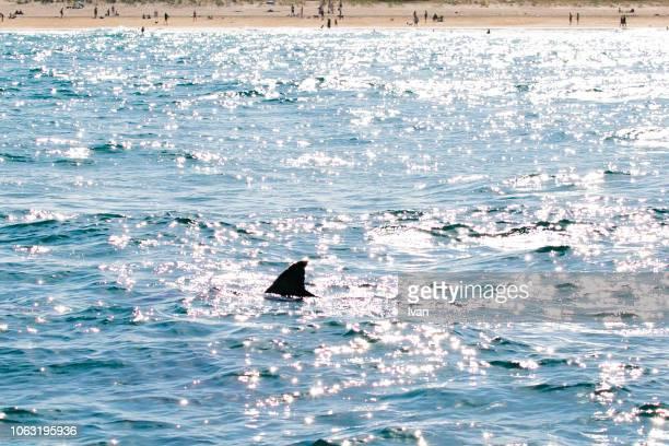 dangerous great white shark appear near the beach, carcharodon carcharias, dorsal fin in water - ilha netuno - fotografias e filmes do acervo