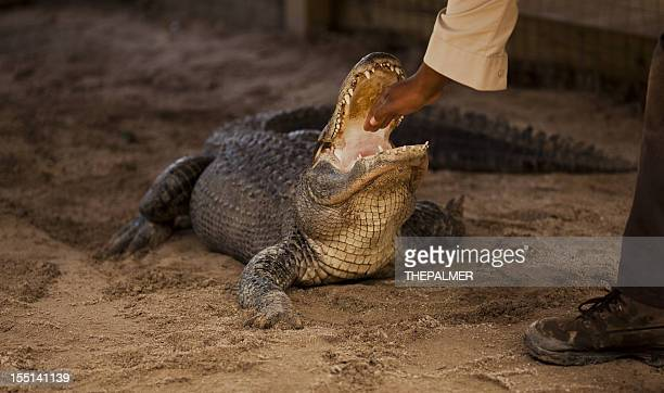 dangerous move with an american alligator - alligator stock pictures, royalty-free photos & images