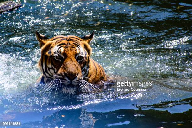 dangerous swimmer - czech hunters stock pictures, royalty-free photos & images