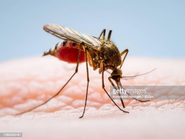 dangerous zika virus infected mosquito skin bite - ネッタイシマカ ストックフォトと画像
