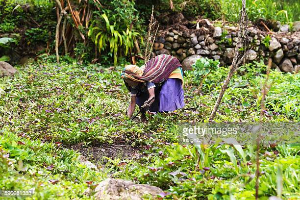 Dani woman tending to her field Baliem Valley Central Highlands of Western New Guinea Papua Indonesia