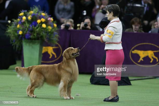 Daniel, a Golden Retriever competes during the Best in Show during the Westminster Dog Show on February 11, 2020 at Madison Square Garden in New...