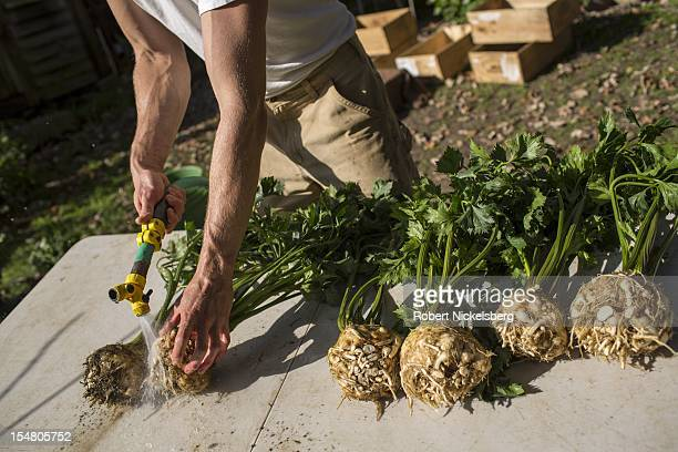 Daniel Morse washes freshly picked celery root or celeriac October 5 2012 at the Moon in the Pond farm in Sheffield Massachusetts The farm's autumn...