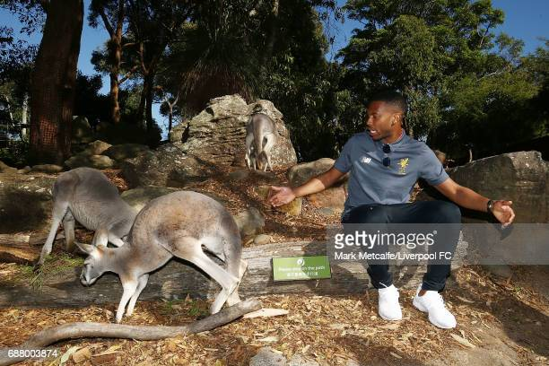 Daniel Sturridge engages with a kangaroo during a Liverpool FC player visit to Taronga Zoo on May 25 2017 in Sydney Australia