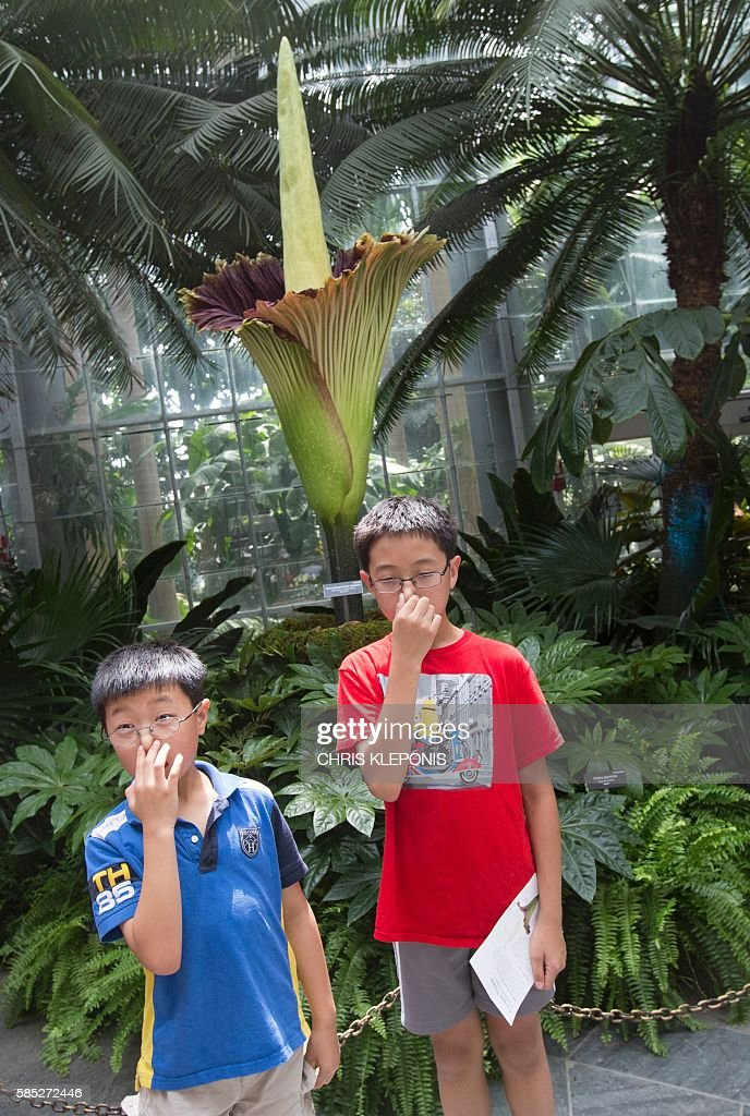 Daniel Yeung(L) and his brother Calvin Yeung(R)of Toronto, Canada, hold their noses while viewing the Corpse Flower at the US Botanic Garden in Washington, DC on August 2, 2016. The USBG's Titan Arum (Amorphophallus titanium), also known as the corpse flower or stinky plant for its smell often compared to rotting meat, is native to Sumatra Indonesia and is expected to bloom for 24 to 48 hours before collapsing. / AFP / CHRIS