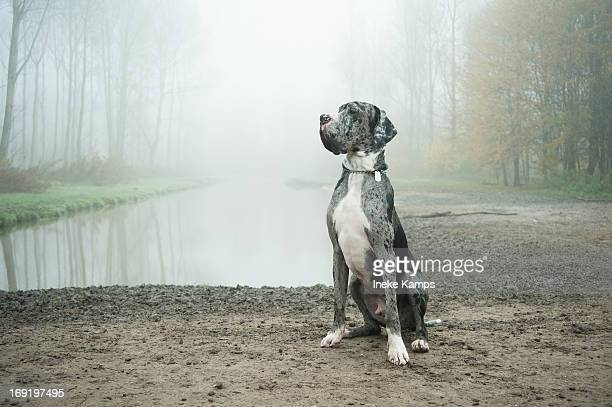 danish dog in misty landscape - great dane stock pictures, royalty-free photos & images