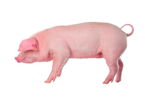 Danish Landrace pig breeds. Isolated on white background 177752567