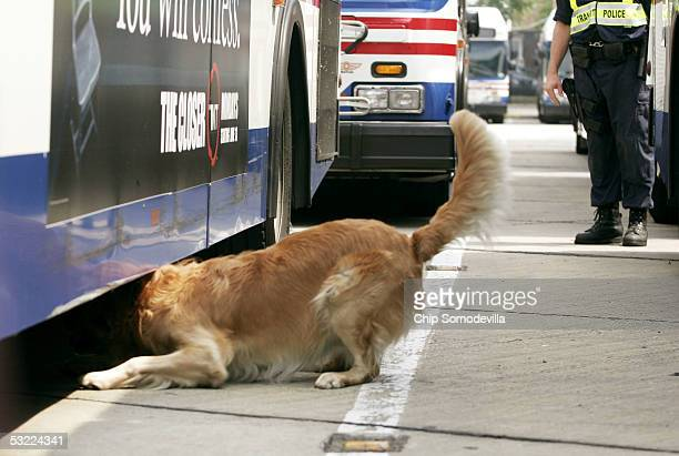 Dano searches for explosives under a bus with handler Mike Keim a Metro Transit Police Special Response Team officer during a demonstration sweep of...