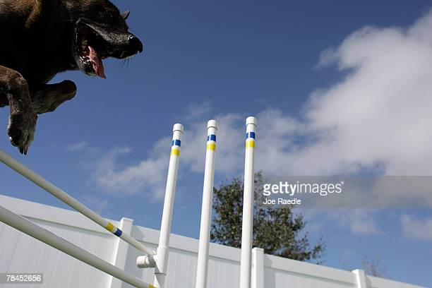 Dante jumps over an obstacle during play time at Chateau Poochie the luxury hotel for dogs and cats December 13 2007 in Pompano Beach Florida...