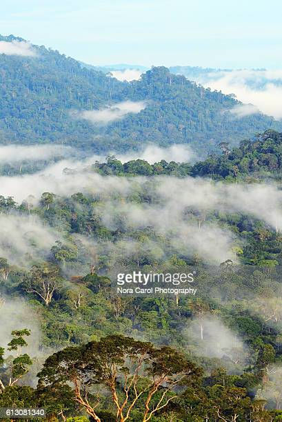 danum valley rain forest in sabah borneo - dipterocarp tree stock pictures, royalty-free photos & images