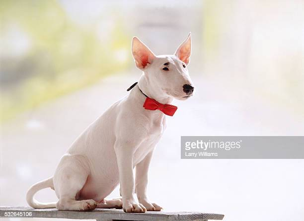 dapper dog - bull terrier stock pictures, royalty-free photos & images