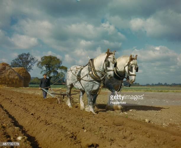 1944 Dapple Grey Mare Horses Judy and Jill pulling a plough over a field in Datchett Berkshire in October 1944 The Prize winning mares are owned by F...