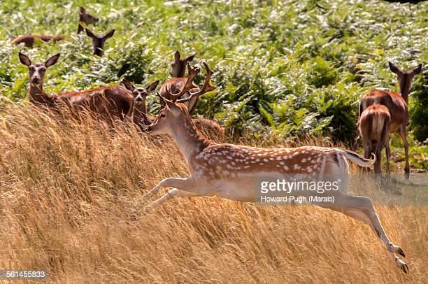 dappled deer in flight - リッチモンド公園 ストックフォトと画像