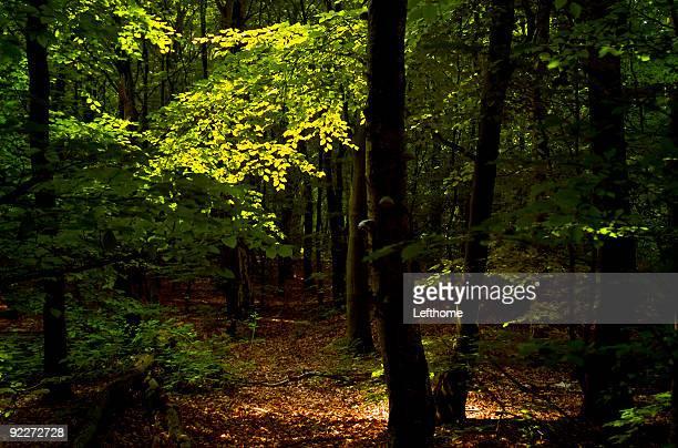 Gesprenkeltes Forest Licht