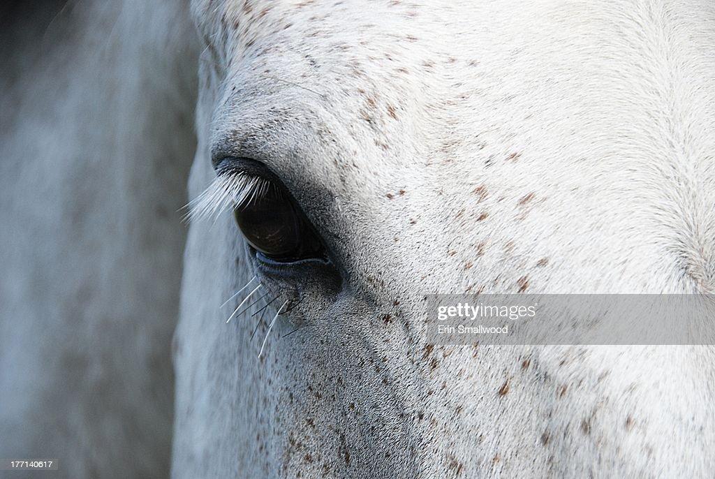 Dappled grey horse eye lashes : Stock Photo