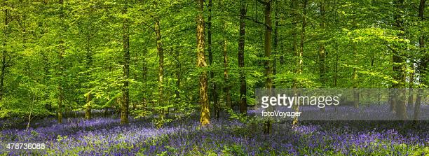 Gesprenkeltes Sommer Sonnenlicht durch grüne Waldgebiet glade bluebell forest