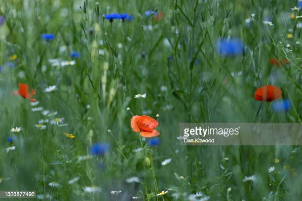 Dappled sunlight hits a poppy growing in a wildflower meadow in St James's Park on June 16, 2021 in London, England.
