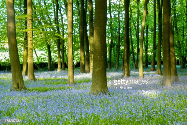 Dappled sunlight in bluebell wood and tree trunks in late spring, early summer in the Gloucestershire Cotswolds, United Kingdom.