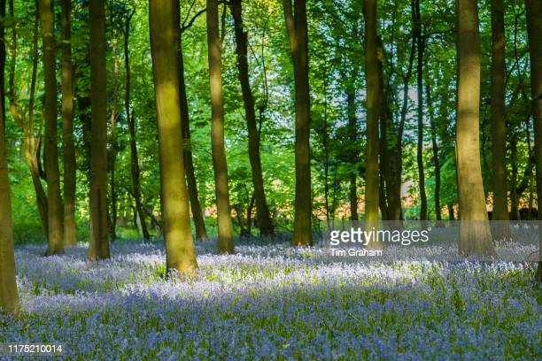 Dappled sunlight in bluebell wood and tree trunks in late spring early summer in the Gloucestershire Cotswolds United Kingdom