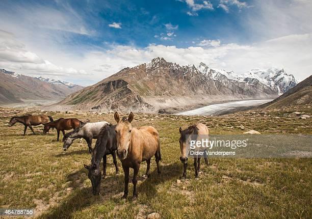 CONTENT] Darang Durung Glacier Zanskar jamu Kashmir India horses Mountain glacier high altitude