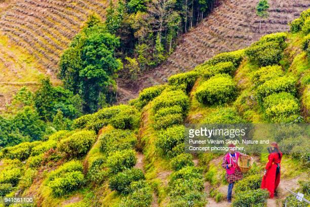 darjeeling tea garden - westbengalen stock-fotos und bilder