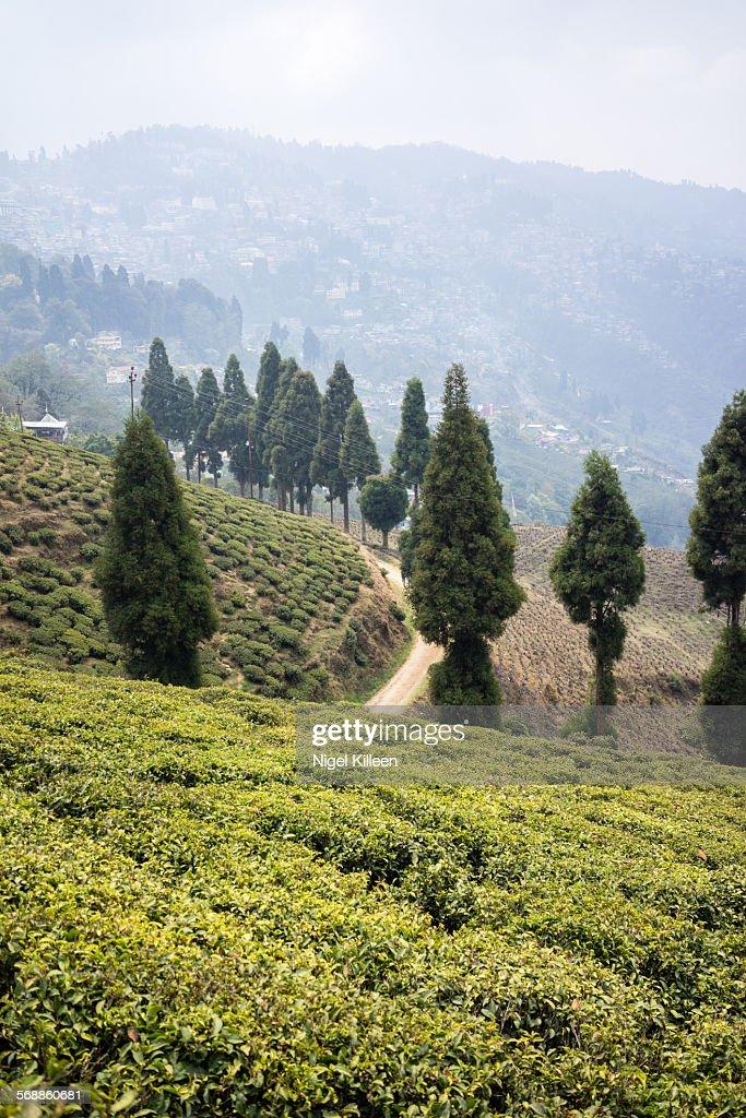 Darjeeling tea : Stock Photo