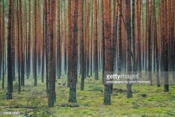 dark and foggy pine forest in winter, brandenburg, germany - land brandebourg photos et images de collection