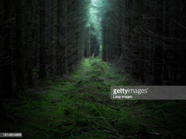 Dark and mysterious pine forest in the Mendip Hills.