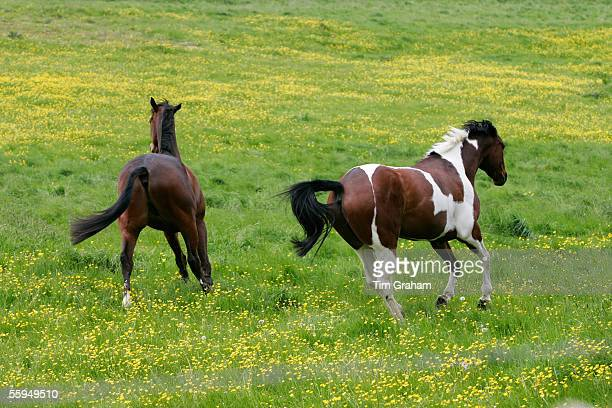 Dark Bay and Skewbald Horses in meadow in Oxfordshire