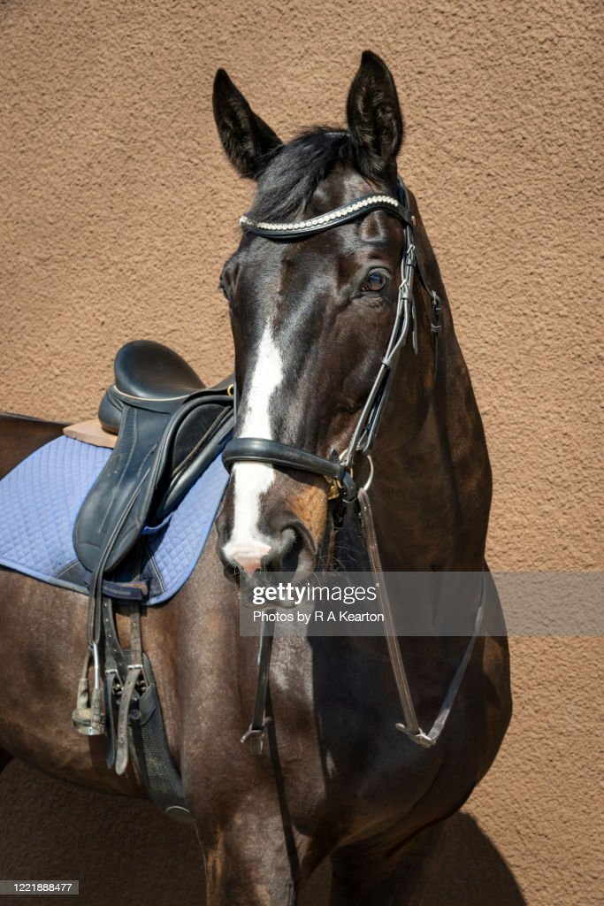 Dark Bay Horse Wearing A Bridle High Res Stock Photo Getty Images