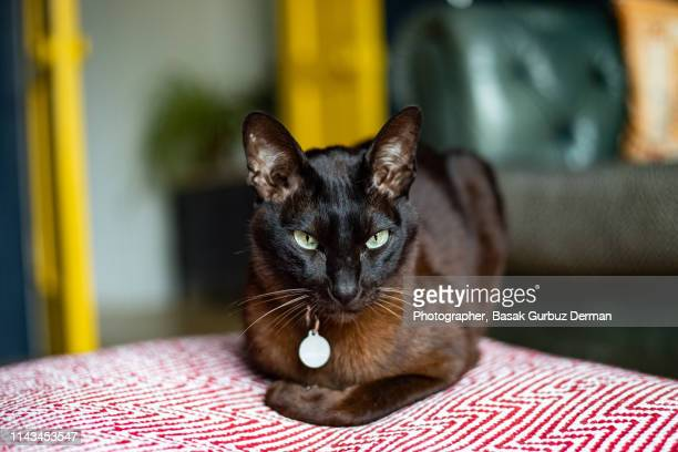 dark brown cat with a collar and nameplate sitting on a floor pillow / cushion - basak gurbuz derman stock photos and pictures