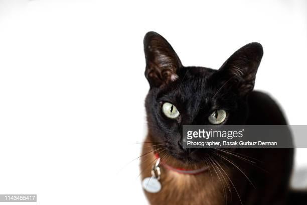dark brown cat with green eyes - basak gurbuz derman stock photos and pictures