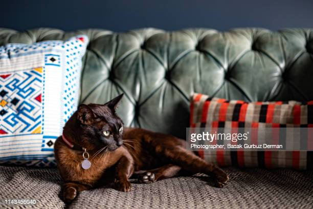 dark brown cat with green eyes with a collar and nameplate sitting on the sofa - basak gurbuz derman stock photos and pictures