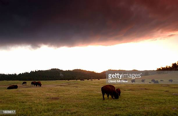 A dark cloud hovers over a herd of bison at sunset in Wind Cave National Park August 14 2001 in the southern Black Hills of South Dakota Millions of...