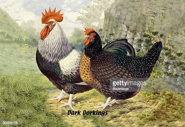 Dark Dorkings