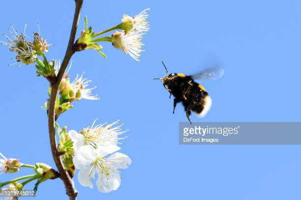 Dark earth bumblebee is seen on a sour cherry blossom on April 10, 2020 in Dortmund, Germany.