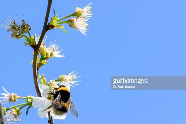 A dark earth bumblebee is seen on a sour cherry blossom on April 10 2020 in Dortmund Germany