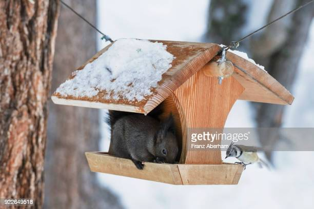 Dark eurasian red sqirrel and a crested tit at a birdhouse
