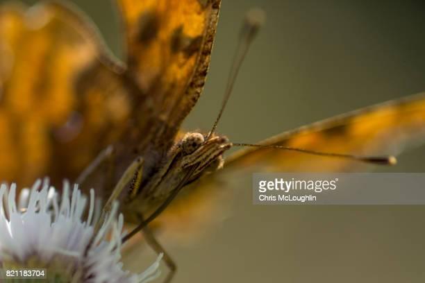 Dark Green Fritillary Butterfly