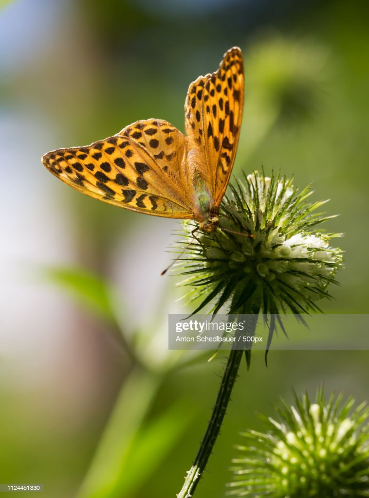 Dark Green Fritillary : Stock-Foto