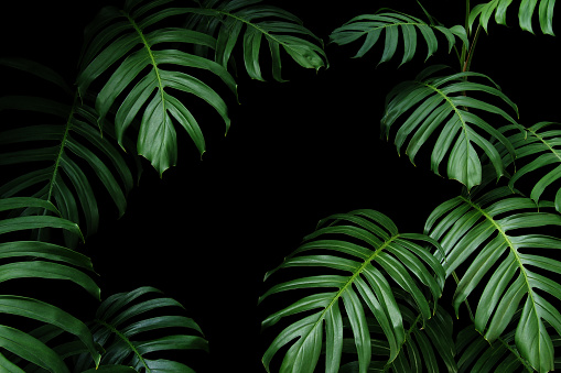 Dark green leaves of native Monstera the tropical forest plant evergreen vines, nature leaf frame on black background. 1155254428
