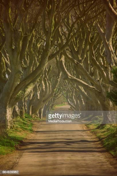 Dark hedges of Northern Ireland